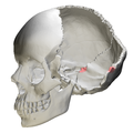Occipital bone Lateral angle08.png