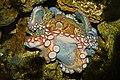 Octopus vulgaris 03.jpg