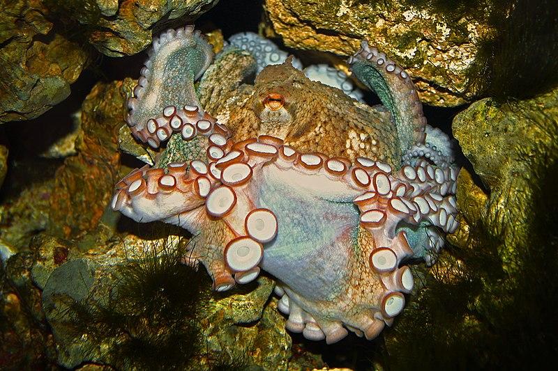 File:Octopus vulgaris 03.jpg