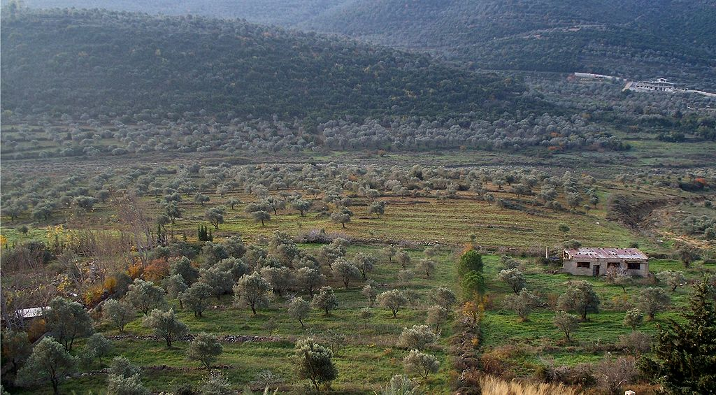 Kebun zaitun di Kegubernuran Homs, Suriah barat