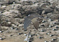 Onychoprion fuscatus Ascension Island 9.jpg