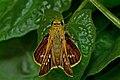 Open wing busking activity of Parnara spp. – Parnara Swift spp. (Himalayan Straight Swift ) WLB DSC 9324.jpg