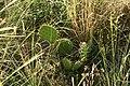 Opuncie v národní přírodní rezervaci Mohelenská hadcová step.jpg