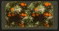 Orange Blossoms and Fruit, Los Angeles, Cal., U.S.A, by Singley, B. L. (Benjamin Lloyd) 8.png