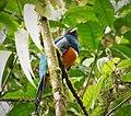 Orange bellied Trogon. Trogon aurantiiventris - Flickr - gailhampshire.jpg