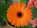 Orange gerbera.jpg