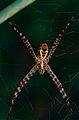 Orb Web Spider (Argiope minuta) (14612315806).jpg