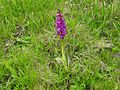 Orchis mascula 22.jpg