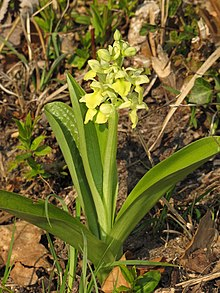 Orchis pallens RF.jpg