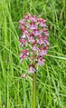 Orchis x hybrida in Aveyron 01.jpg