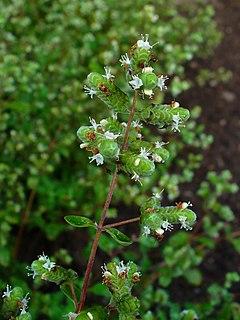Marjoram Perennial herb