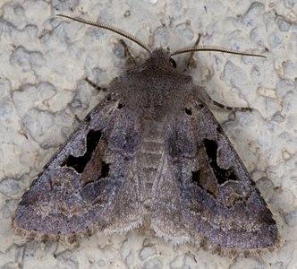 Orthosia gothica 02(js) Lodz (Poland).jpg