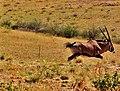 Oryx On the Run (5101086059).jpg