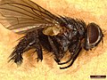 Oswaldia muscaria (41405875232).jpg