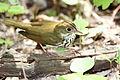 Ovenbird (Seiurus aurocapilla) (15226428307).jpg