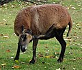 Ovis aries aries, owca kamerunska, Stare ZOO, Poznan.JPG