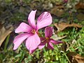 Oxalis articulata Savigny.jpg