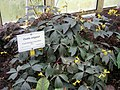 Oxalis ortgiesii - Berlin Botanical Garden - IMG 8704.JPG
