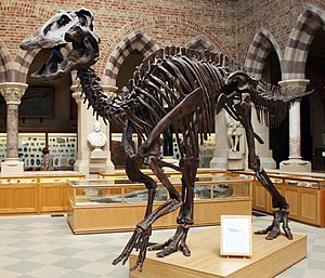 Edmontosaurus annectens - Mounted cast of a fossil E. annectens skeleton, Oxford University Museum of Natural History