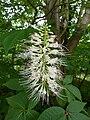 P1000645 Aesculus parviflora (Bottlebrush Buckeye) (Hippocastanaceae) Flower.JPG