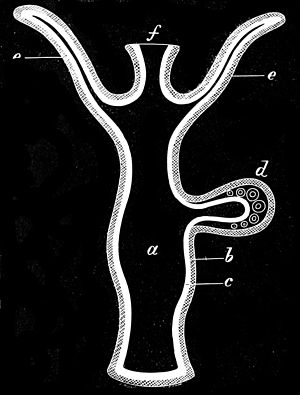 Hydroid (zoology) - Section through a hydroid
