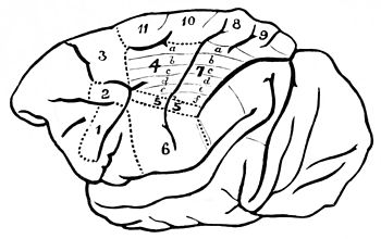 PSM V42 D778 Diagram of the motor centres of the brain.jpg