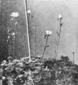 PSM V62 D207 A carnivorous plant Drosera brevifolia.png