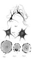 PSM V71 D111 Various human nerve cells.png