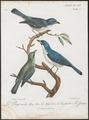 Pachycephala madagascariensis - 1796-1808 - Print - Iconographia Zoologica - Special Collections University of Amsterdam - UBA01 IZ16600353.tif