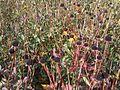 Packera aurea - wetland 2.jpg