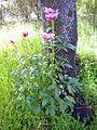 Paeonia broteri Habitus 2011-4-10 SierraMadrona.jpg