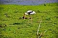 Painted Stork Udawalawa National Park.jpg