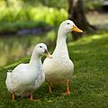 Pair of white domesticated ducks.jpg
