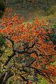 Palash flower 1.jpg