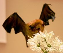 Palla's long-tongued bat, b.jpg