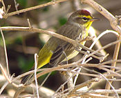 Palm Warbler, Indiatlatlantic.jpg