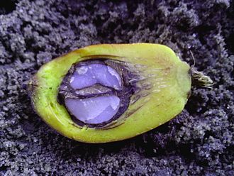 Palm kernel - Palm kernel within a palm fruit.