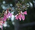 Palo Borracho Flowers (2353714355).jpg