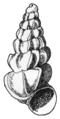 Paludiscala caramba shell.png