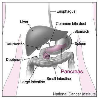 The pancreas (shown here in pink) sits behind the stomach, with the body near the curvature of the duodenum, and the tail stretching to touch the spleen. Pancreas and nearby organs.jpg