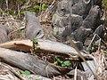 Papilio demodocus 0003.jpg