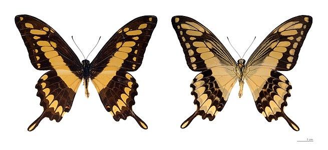 Papilio thoas thoas