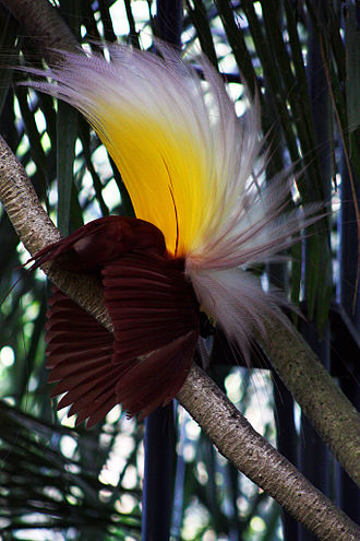Papua (province) -  Paradisaea apoda, native to Papua, displaying its feathers