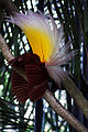 Paradisaea apoda -Bali Bird Park-7.jpg