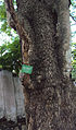 Parkia biglandulosa - Badminton Ball Tree.jpg