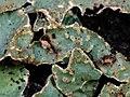 Parmelia sulcata 108892297.jpg