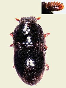 Dryopidae
