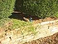 Peacock, Newbiggin Hall - geograph.org.uk - 290544.jpg