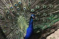 Peacock - panoramio - NaturesFan1226 (1).jpg