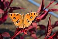 Peacock Pansy Butterfly-1.jpg